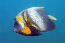 King Angelfish in Machalilla, Ecuador by Gyorgy Gutierrez 